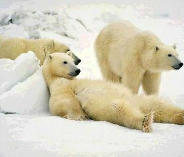 tre orsi polari