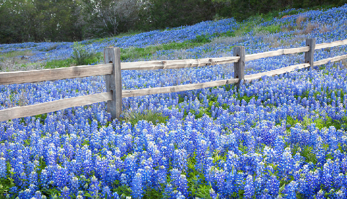 BlueBonnets in Spring