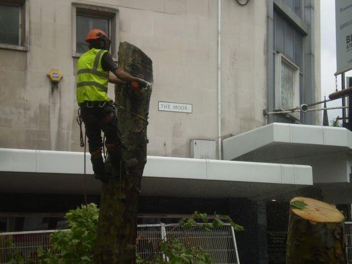 Preparation for tree felling
