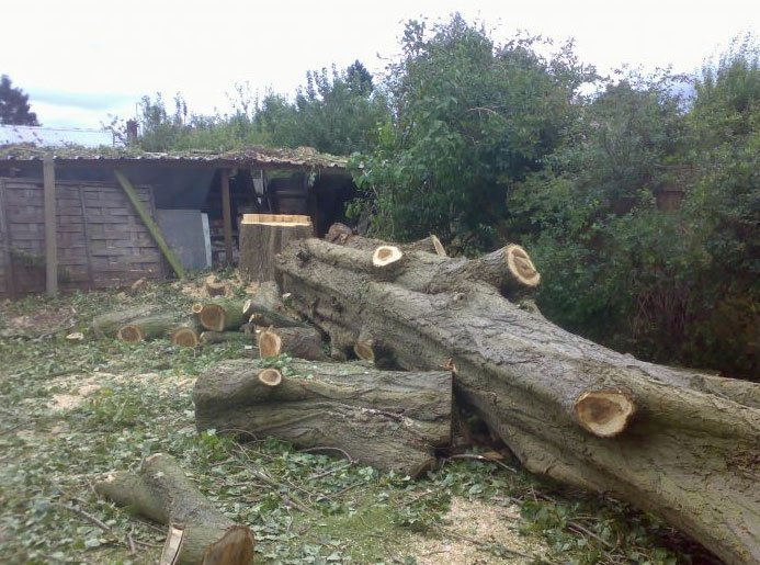 Removal of large poplar trees