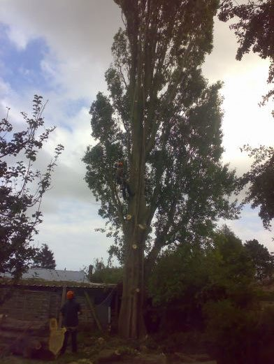 Tree surgeons at work