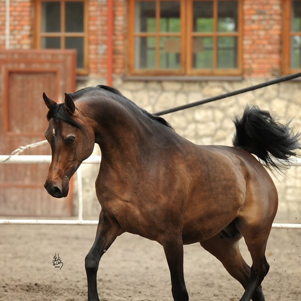 Arabian Horses For Sale Ad Horse Uk Horses For Sale - 600×600