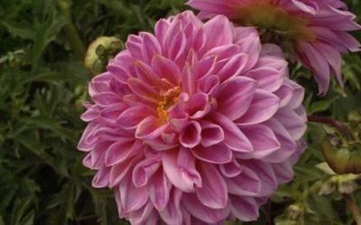 fiori recisi alia