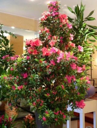 piante ornamentali - azzalea