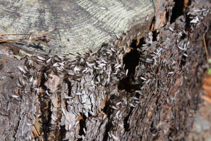 Termite Control Caldwell TX