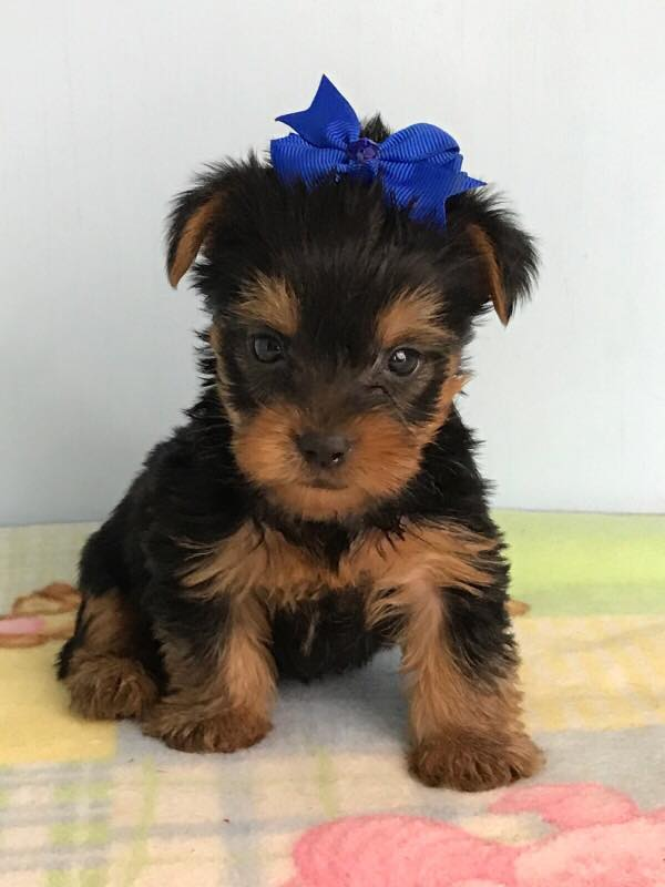 Our Store Oklahoma Yorkie Puppies