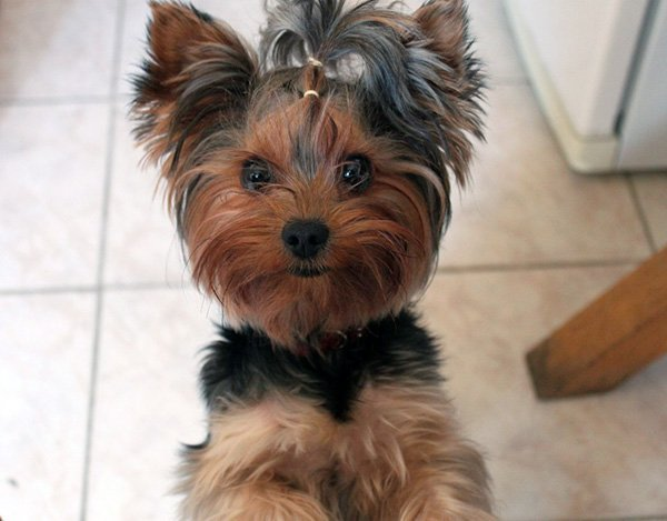 toy-yorkie-adult