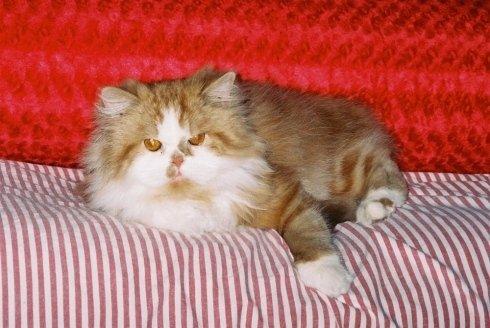 gatto persiano dopo toelettatura