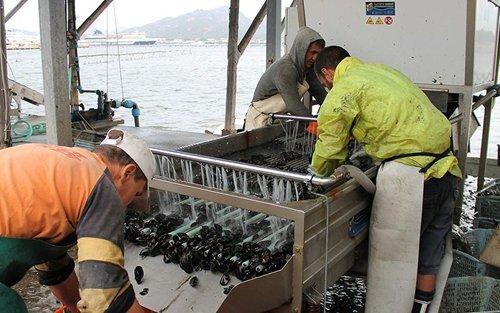 pescatori che puliscono le cozze