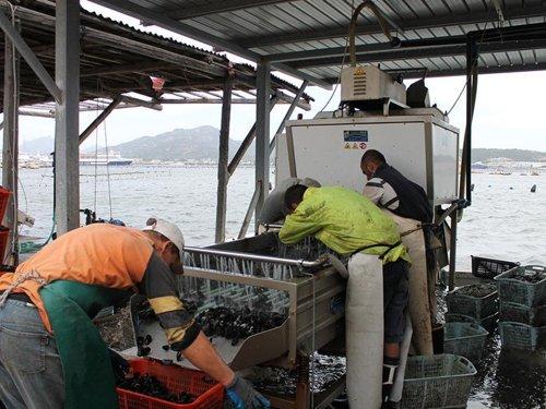 pescatori che puliscono delle cozze
