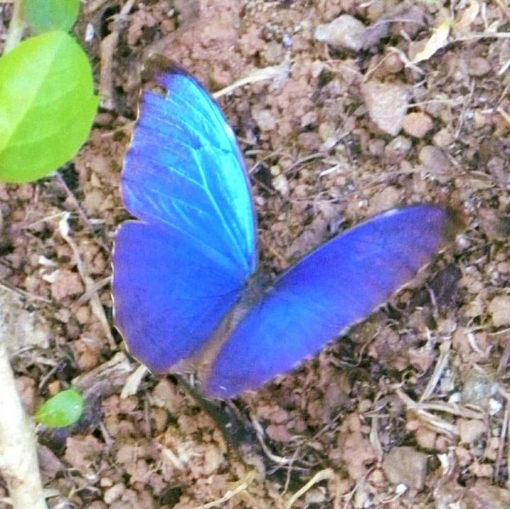 Morpho butterfly at the Lookout at Playa Tortuga