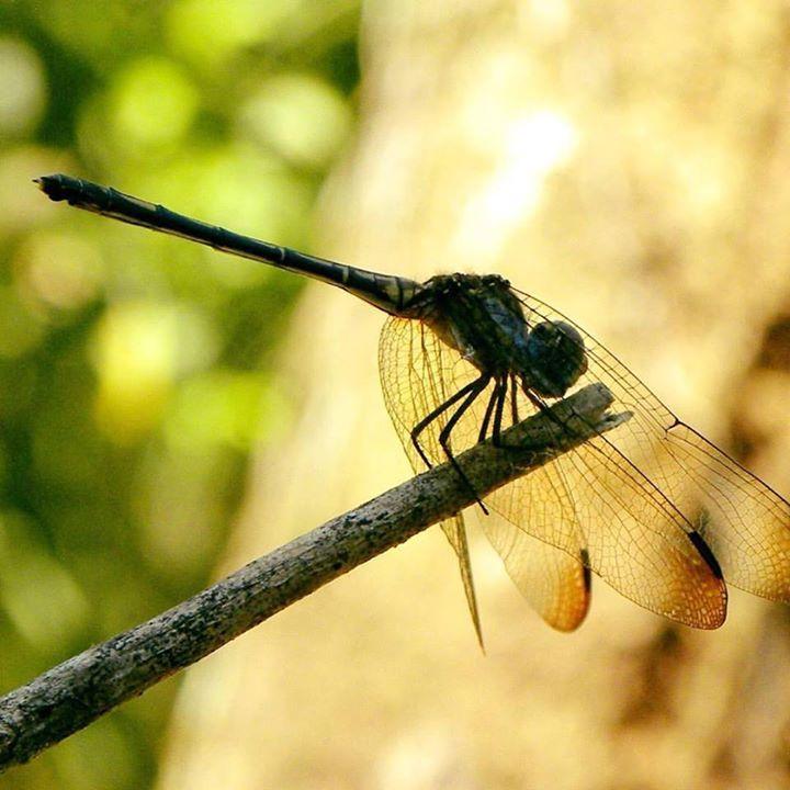 Dragonfly at the Lookout at Playa Tortuga