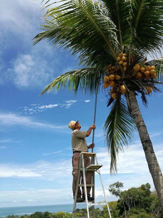 Coconuts at the Lookout at Playa Tortuga