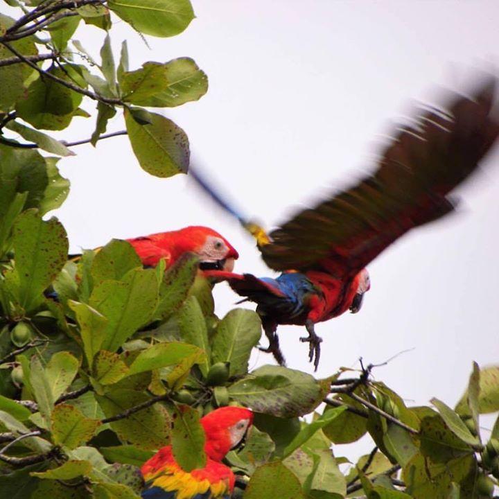 Scarlet Macaws at the Lookout at Playa Tortuga