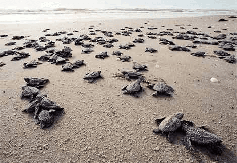 Oliver Ridley Turtles at Playa Tortuga, Costa Rica