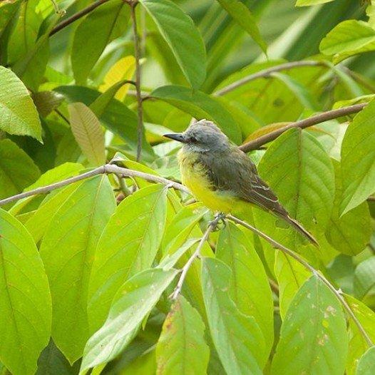 Tropical Kingbird at the Lookout at Playa Tortuga