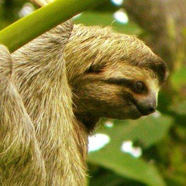 3-toed Sloth at the Lookout at Playa Tortuga