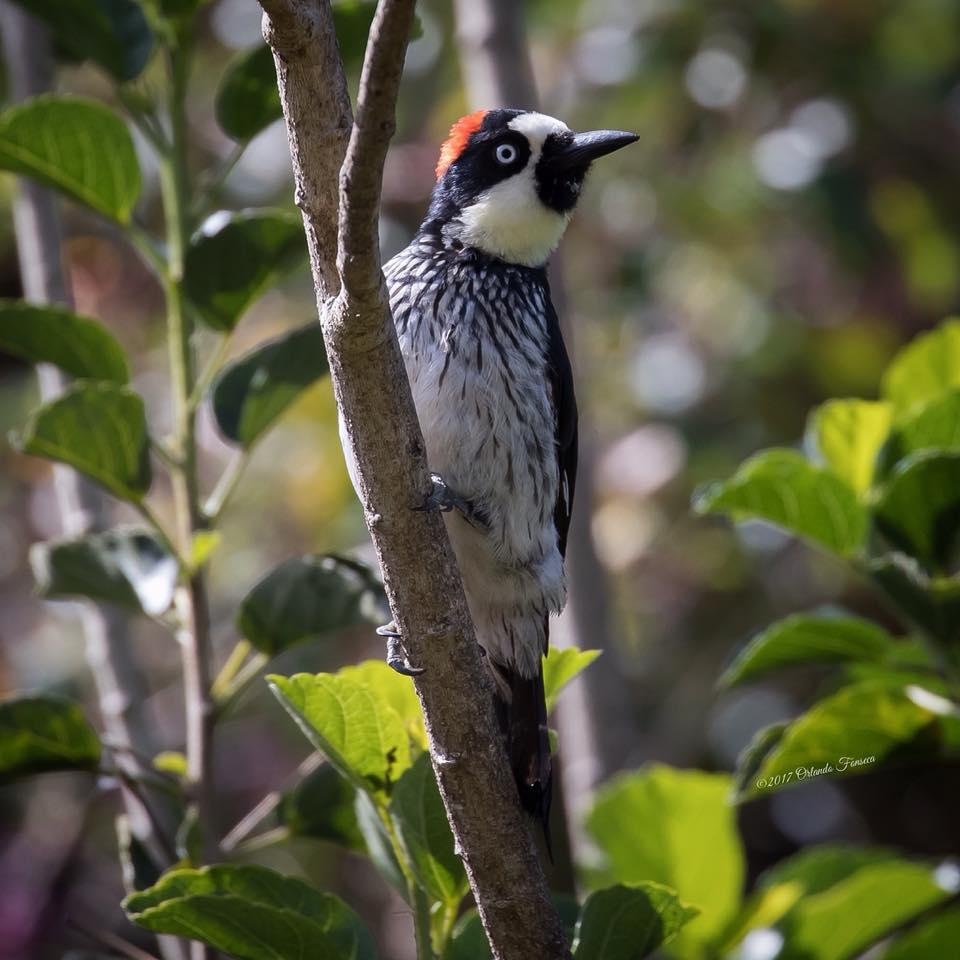 Acorn Woodpecker at the Lookout at Playa Tortuga