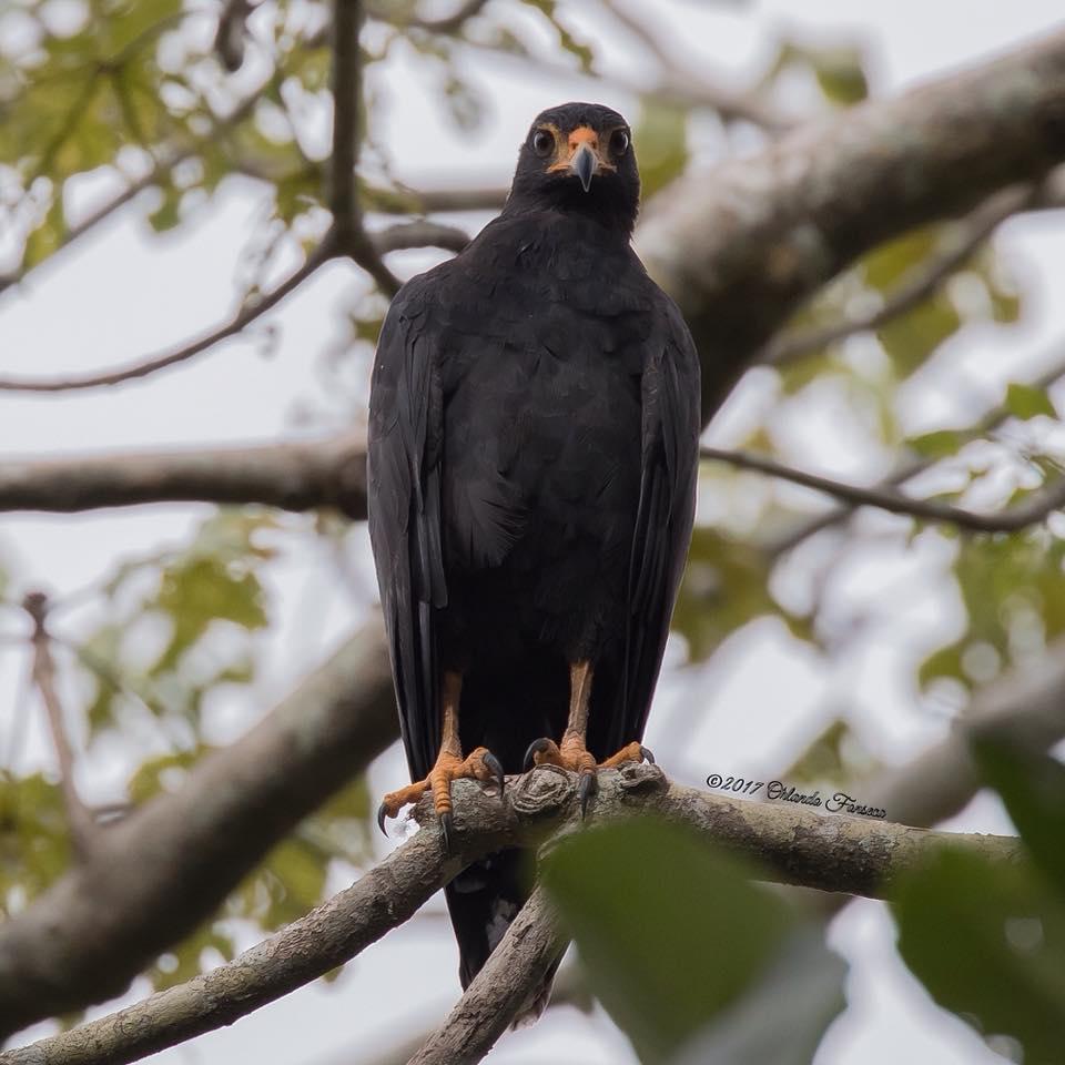 Common Black Hawk at the Lookout at Playa Tortuga