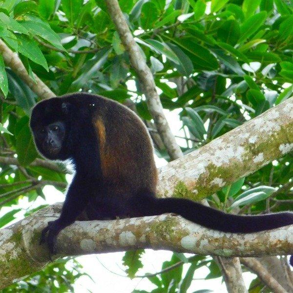 Howler Monkey at the Lookout at Playa Tortuga