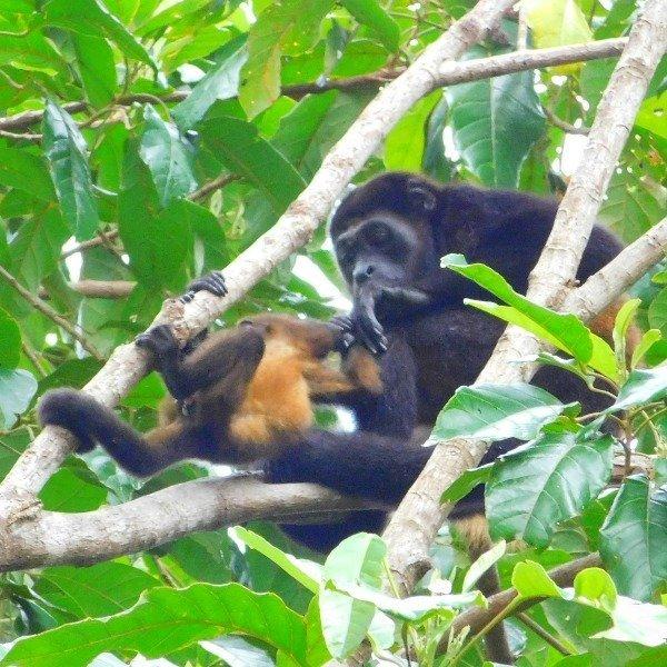 Howler Monkeys at the Lookout at Playa Tortuga