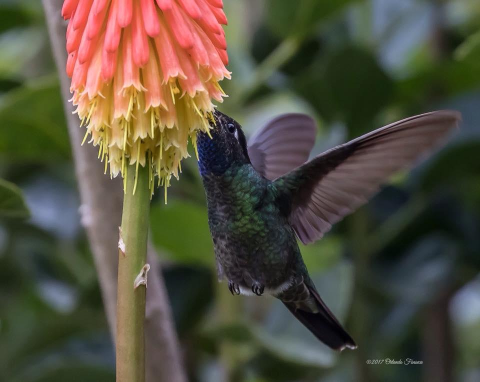 Magnificent Hummingbird at the Lookout at Playa Tortuga