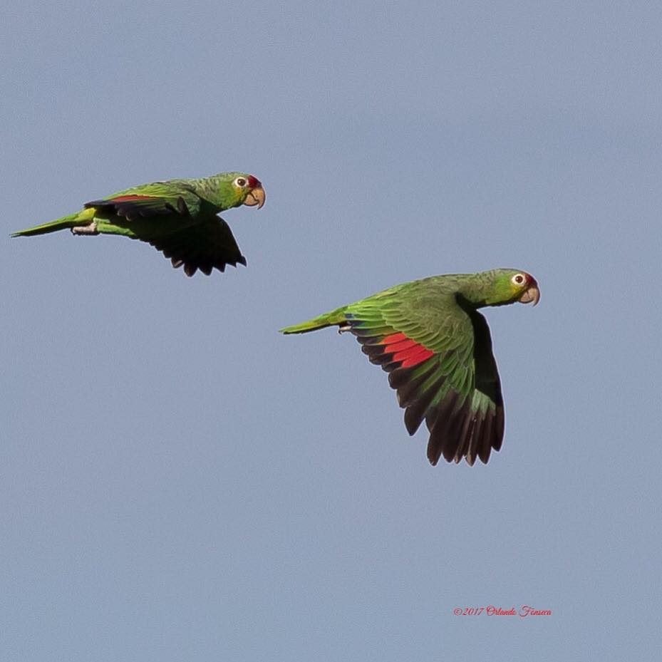 Red Lored Parrots at the Lookout at Playa Tortuga