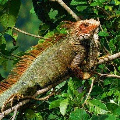 Iguana at the Lookout at Playa Tortuga