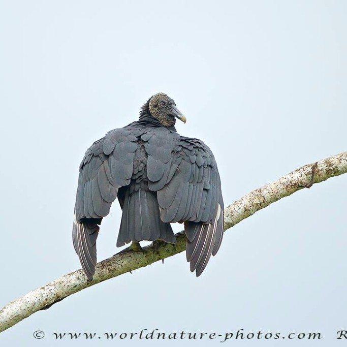 Black Vulture at the Lookout at Playa Tortuga