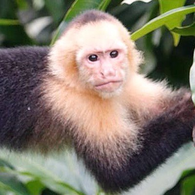 Capuchin monkey at the Lookout at Playa Tortuga