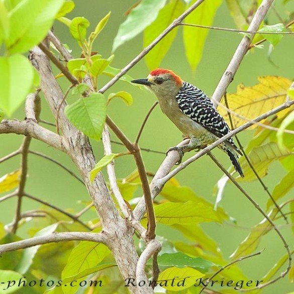 Crowned Woodpecker at the Lookout at Playa Tortuga