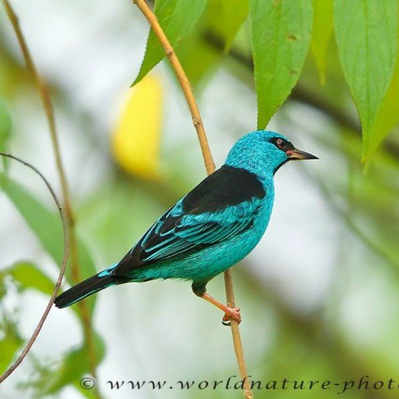 Blue Dacnis by Ronald Krieger