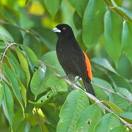 Passerini's Tanager by Ronald Krieger