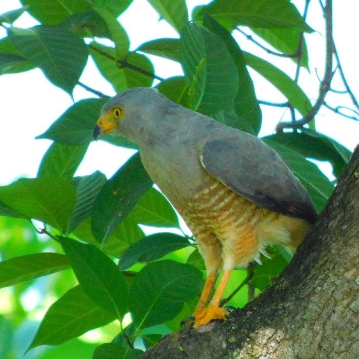 Roadside Hawk at the Lookout at Playa Tortuga
