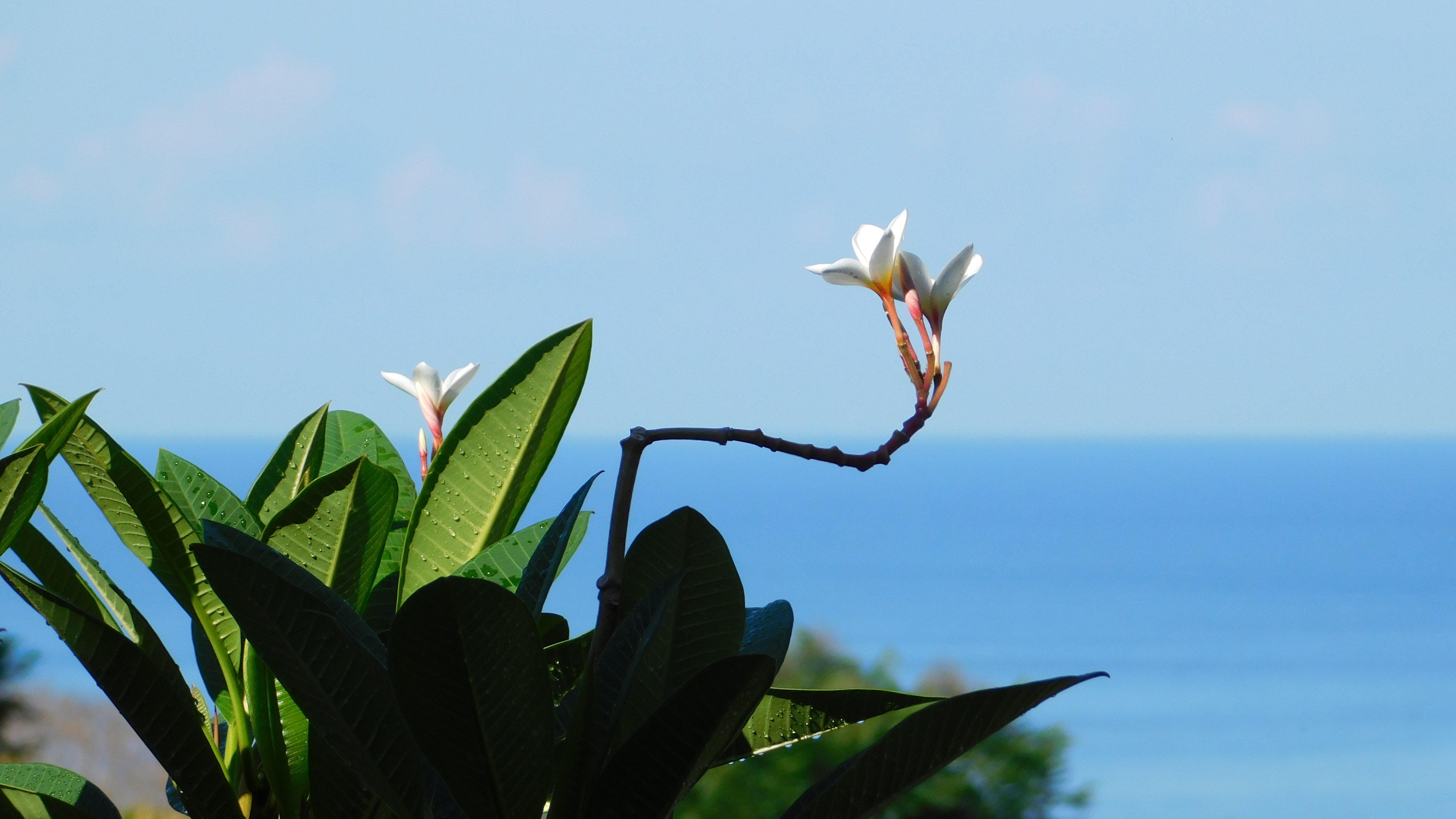 Plumeria at the Lookout at Playa Tortuga