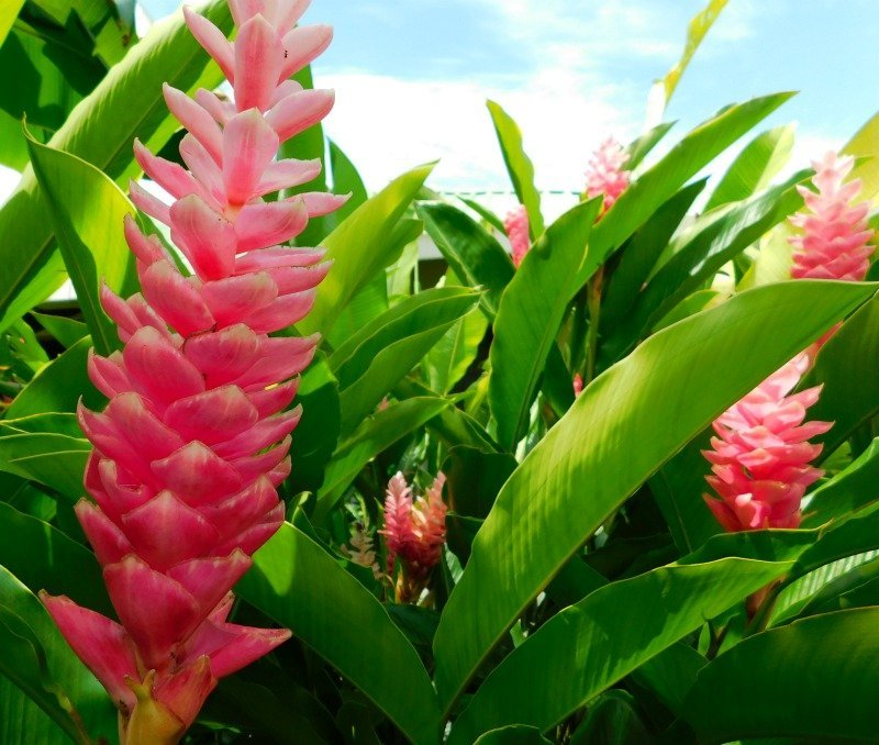 Ginger plant at the Lookout at Playa Tortuga