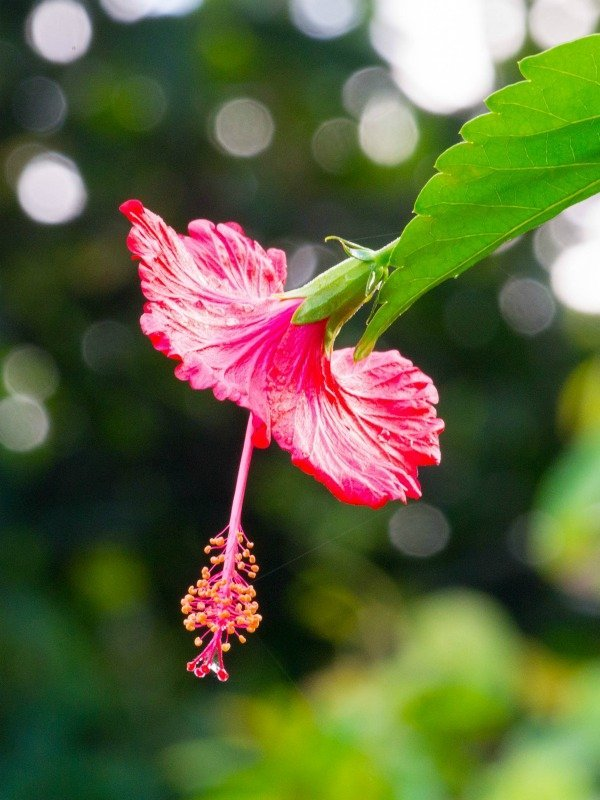 Hibiscus at the Lookout at Playa Tortuga