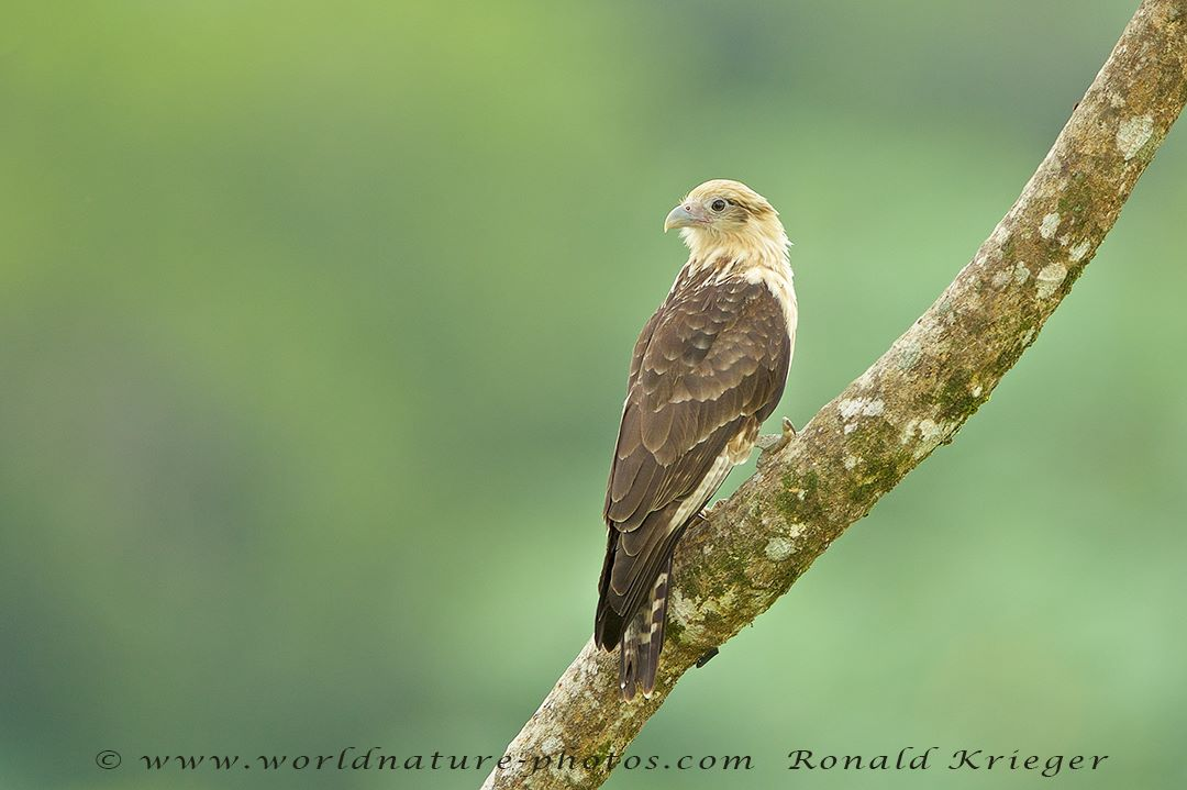 Yellow-headed Caracara by Ronald Krieger