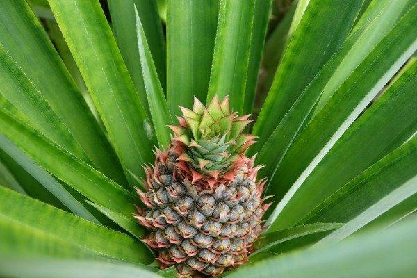 Pineapple at the Lookout at Playa Tortuga