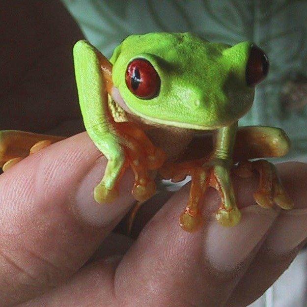 Green Tree Frog at the Lookout at Playa Tortuga