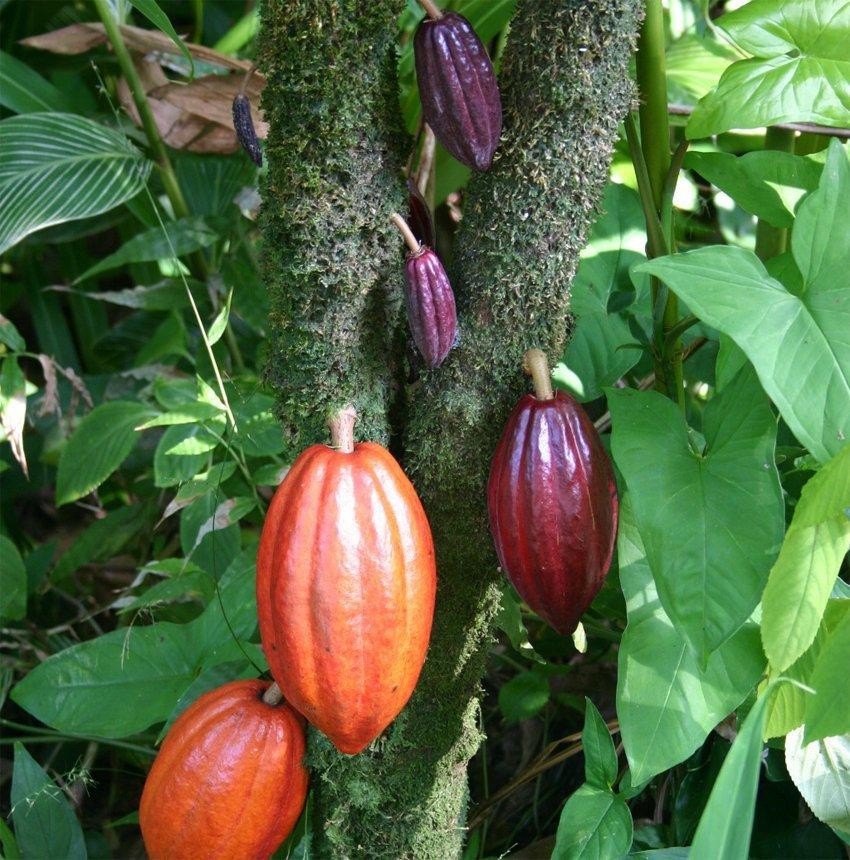 Cacao pods in Costa Rica