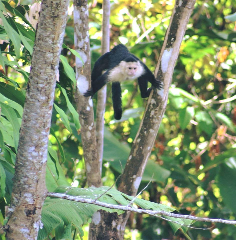 Capucin monkey at the Lookout at Playa Tortuga