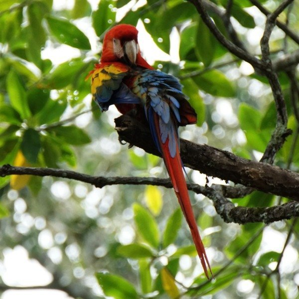 Scarlet Macaw at Playa Tortuga
