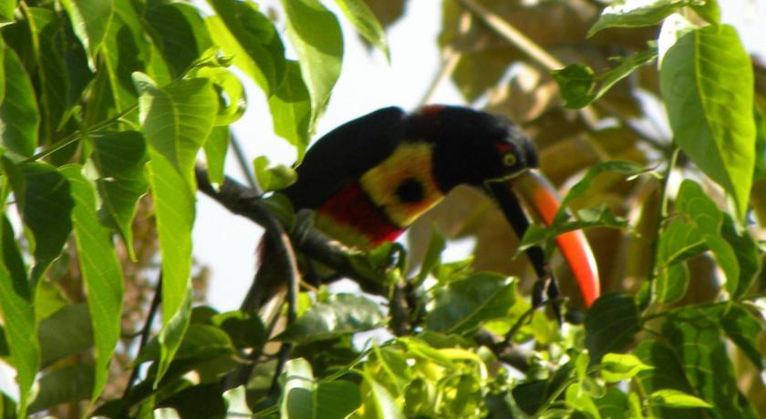 Fiery-billed Aracari at the Lookout at Playa Tortuga