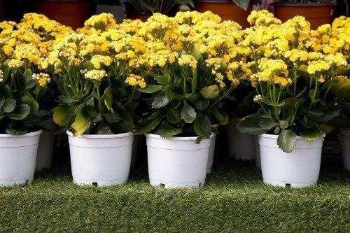 fiori gialli in vasi bianchi