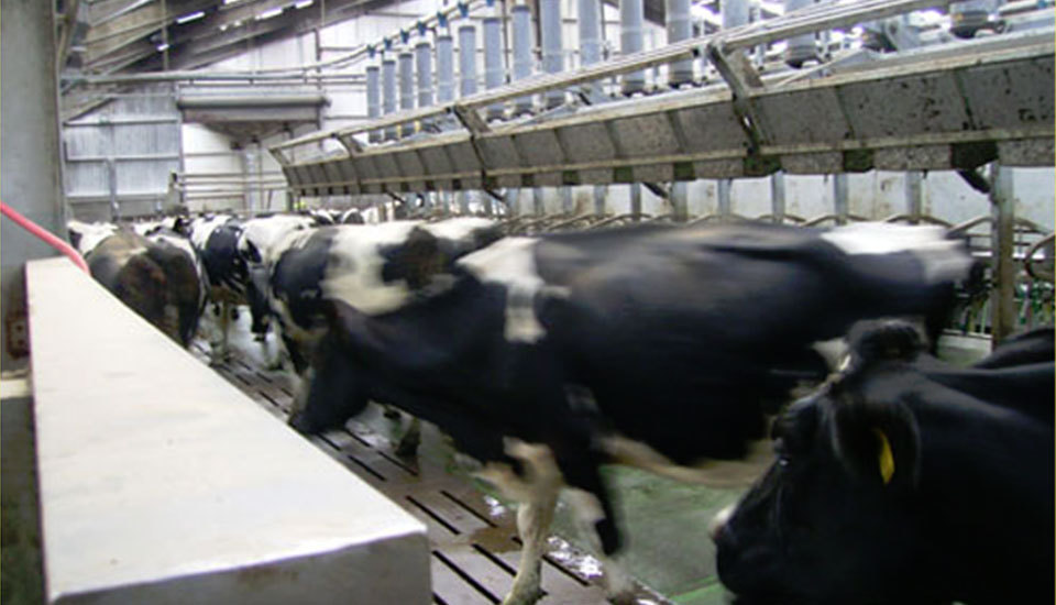 Cows inside the dairy