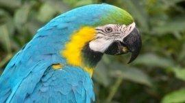 Pappagalli, Parrot