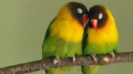 Uccelli, Allevamento Uccelli