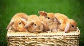 Conigli, Coniglietti