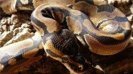 Pitone Reale, Ball Python, Python Regius